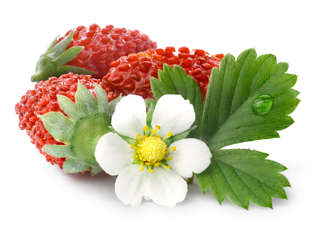 bois: Woodland strawberry (Fragaria vesca, fraise de bois)  with flower. Stock Photo