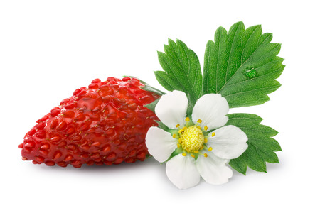 Woodland strawberry (Fragaria vesca, fraise de bois)  with flower. Stock Photo