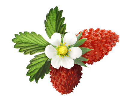 bois: Woodland strawberry (Fragaria vesca, fraise de bois)  with flower. Clipping paths, infinite depth of field. Stock Photo