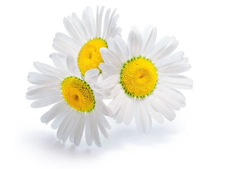 matricaria: Backlit chamomile (Chrysanthemum maximum) flowers. Infinite depth of field, clipping paths, shadow and flowers separated