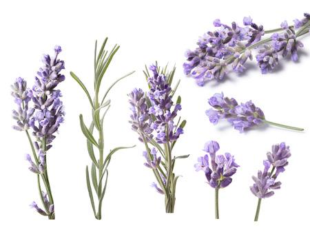 lavandula angustifolia: Set of blossoming Lavender (Lavandula), leaves. Clipping paths, shadows separated, infinite depth of field. Design elements