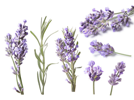 Set of blossoming Lavender (Lavandula), leaves. Clipping paths, shadows separated, infinite depth of field. Design elements