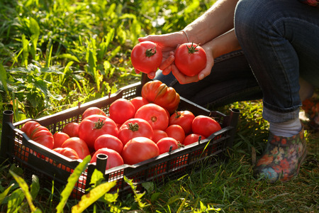 Woman holding a heirloom tomatoes over a box full of tomatoes. Close up. Horticulture, harvest, local farmer concept
