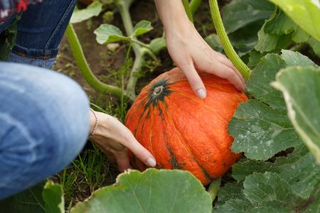Hände der Frau, die eine reife Kürbis halten. Gartenbau, Ernte, lokalen Bauern Konzept