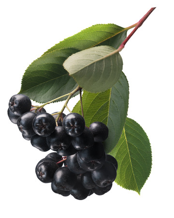 Aronia melanocarpa (black chokeberries), hanging with leaves. Clipping path. Design element Stock Photo
