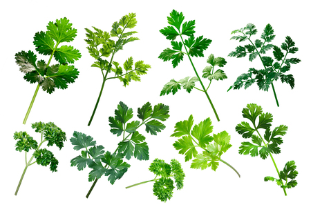 petroselinum sativum: Apiaceae (Umbeliferae) family herbs: parsley, cilantro, chervil.  Clipping path for each object Stock Photo
