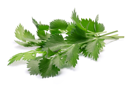 Bunch of fresh true Anise or aniseed leaves (Pimpinella anisum). Clipping paths, shadow separated