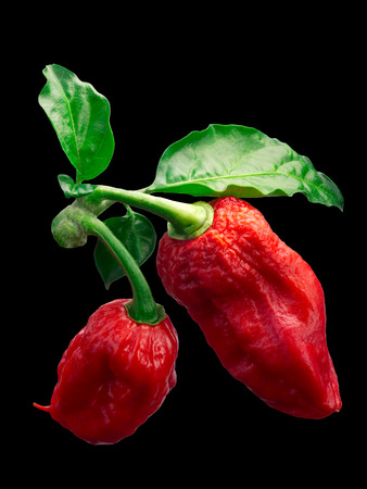 Bhut Jolokia ghost chili peppers (Capsicum frutescens x Capsicum chinense hybrid) with leaves. Clipping paths Stock Photo