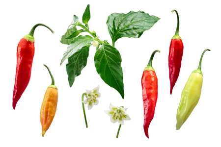 Aji Cristal pepper (Capsicum baccatum) plant, pods, flower, exploded view (elements). Clipping path for each element Stock Photo