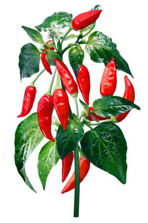 Aji Brazilian Bonanza pepper (C. baccatum), plant with pods.
