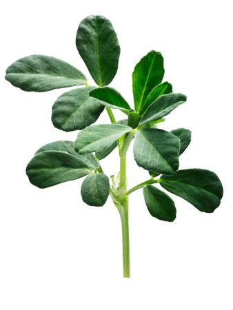Fenugreek (Trigonella foenum-graecum) plant with leaves . Clipping paths Zdjęcie Seryjne