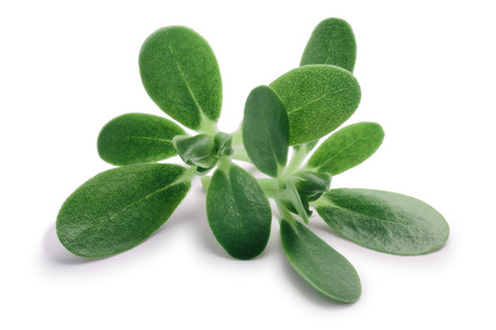 Common purslane (Portulaca oleracea) leaves. Clipping paths, shadow separated Reklamní fotografie - 94720325