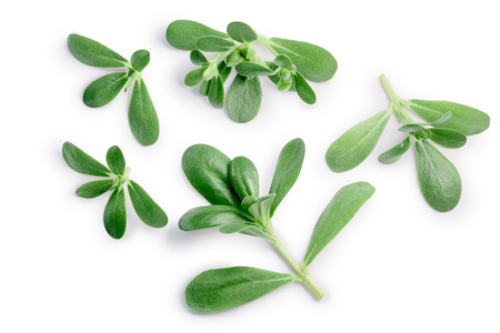 Common purslane (Portulaca oleracea) tops. Clipping path, top view, shadow separated
