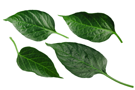 Capsicum annuum (chile pepper) leaves. Clipping path for each Banco de Imagens