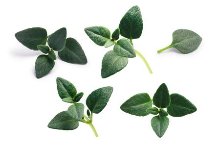 Breckland thyme (Thymus serpyllum) leaves, fresh. Stockfoto