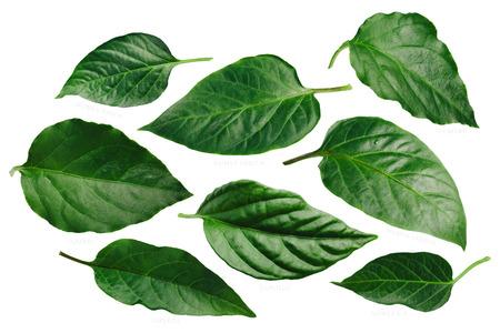 Capsicum annuum (Chile pepper) leaves: Guajillo,Lumbre,NM 6-4, Hatch, Stavros, Sandia. Banco de Imagens - 97565497