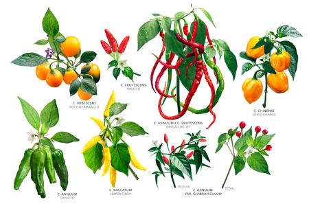 Capsicum Genus Plants (Peppers). Annuum, Baccatum, Chinense, Frutescens, Pubescens species. Clipping paths