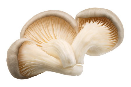 Oyster mushrooms (Pleurotus ostreatus), an edible cultivated fungi, isolated 免版税图像