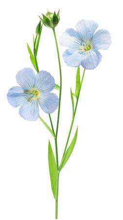 Lino (Linum usitatissimum), planta con flores, hojas y cápsula de frutos, aislado