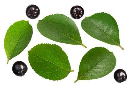 Black chokeberries (Aronia melanocarpa) leaves and fruits, isolated Zdjęcie Seryjne