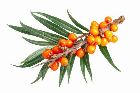 Sea buckthorn (Hippophae rhamnoides), branch with berries and leaves, isolated Zdjęcie Seryjne