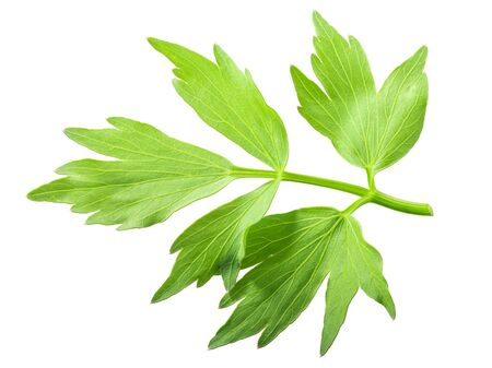 Lovage leaflet (Levisticum officinale foliage), isolated, top view