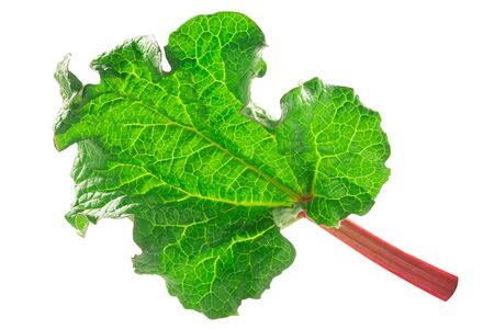 Leaf of Rhubarb (Rheum rhabarbarum), isolated
