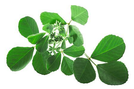 Fenugreek leaves with inflorescences (Trigonella corniculata) isolated