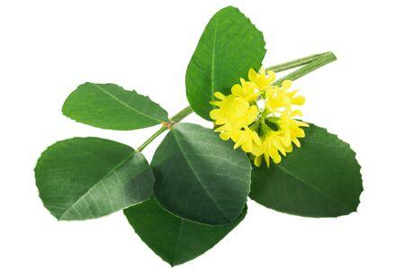 Fenugreek leaves with flowers (Trigonella corniculata) isolated w clipping paths Zdjęcie Seryjne