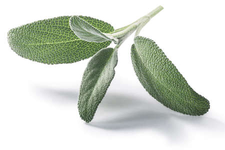 Fresh Sage leaves (Salvia officinalis) isolated w clipping paths Reklamní fotografie