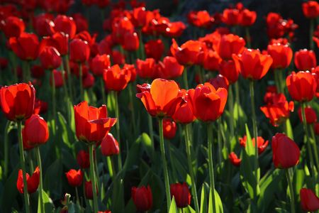 Blossoming tulips in sunset light
