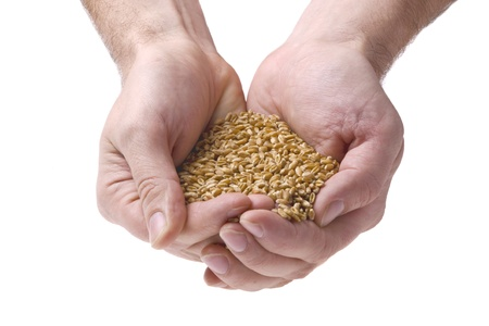 Wheat grain in mans hands, on a white background