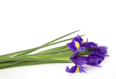 Lying bouquet of irises on a white background photo