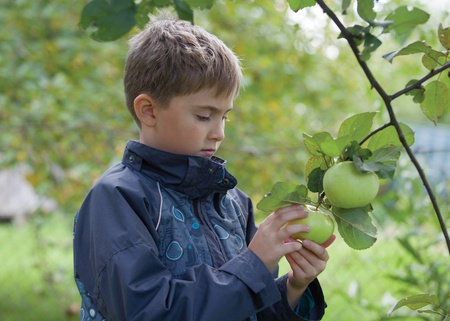 A boy is checking an apple prior to gather it during harvest gathering in the garden Stock Photo