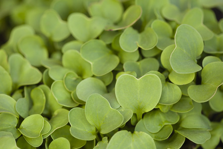plantlet: Garden radish sprouts on a bed. Close up