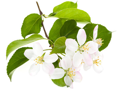 crab apple tree: Branch with apple-tree blossom on a white background Stock Photo