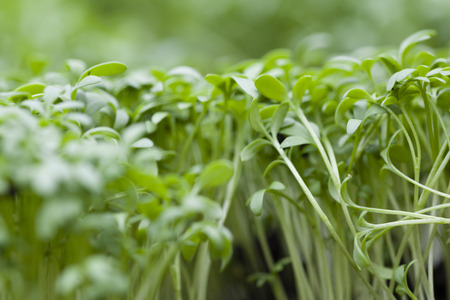plantlet: Garden cress sprouts on a bed. Close up