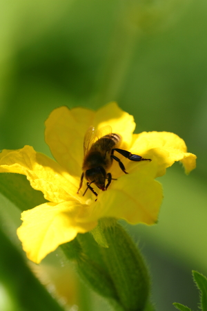 The bee pollinates a cucumber flower, a close up