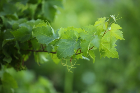 rural economy: Branch of a grapevine on the island Hvar, Croatia. Stock Photo