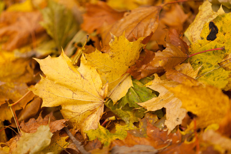 defoliation: Background with the fallen-down autumn leaves of a maple