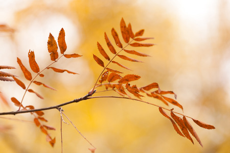 The mountain ash leaves against the background of the autumn wood Stock Photo