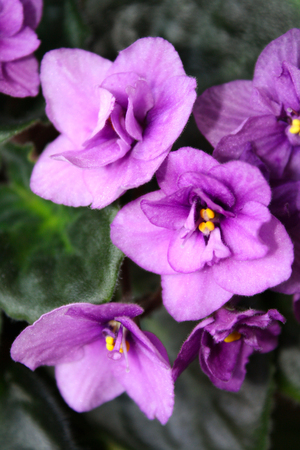 Beautiful violets in all its glory Stock Photo