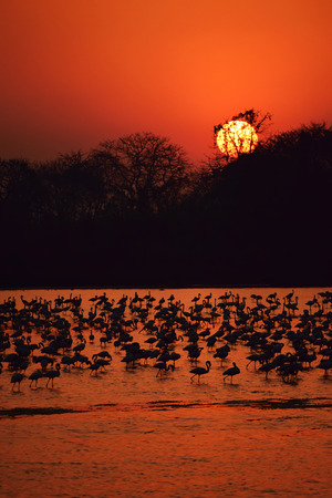roosting: Flamingos at sunset Stock Photo