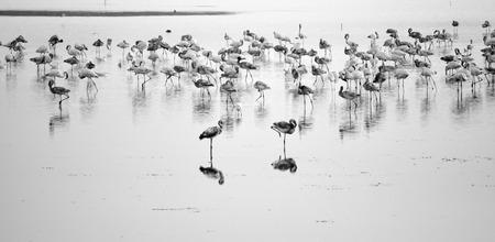 roosting: Flamingos roosting