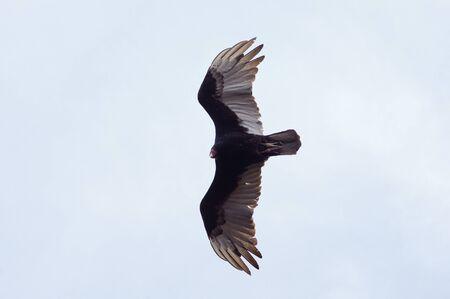 Soaring turkey vulture (Cathartes aura) in the sky Standard-Bild