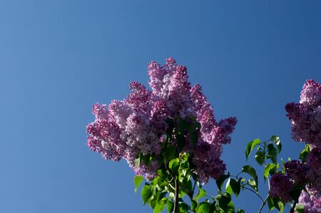 Lilac flower on the blue skybackground