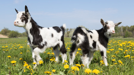 two young funny goats in dandelions opposite of each other Stock Photo