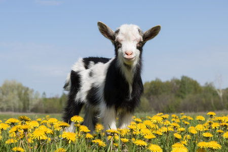 Young funny goat in dandelions and looking at the camera