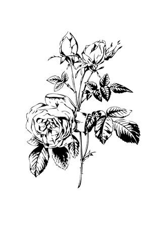 Old styled rose freehand drawin 01 stock photo picture and royalty rose flower black white illustration illustration mightylinksfo Image collections