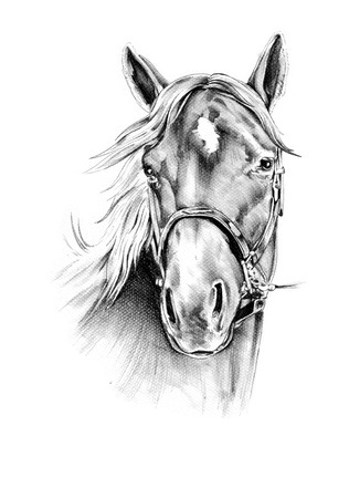 one animal: horse head pencil drawing